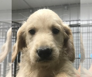 Labradoodle Puppy for Sale in PINE ISLAND, Minnesota USA