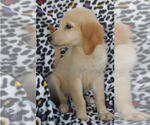 Small #8 Golden Retriever