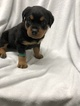 Rottweiler Puppy For Sale in TRAVERSE CITY, Michigan,