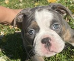 Puppy 7 Olde English Bulldogge
