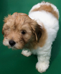 Boy Havanese puppies local pickup only St Louis
