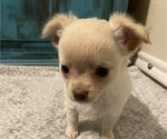 Small Photo #10 Chihuahua Puppy For Sale in NEVADA, TX, USA