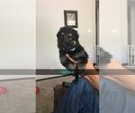 German Shepherd Dog Puppy For Sale in OCONOMOWOC, WI, USA