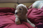 Goldendoodle Puppy For Sale in FOLSOM, CA, USA