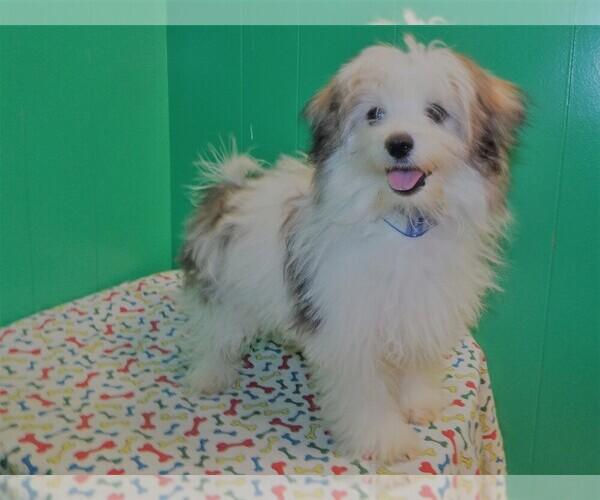 Medium Photo #5 Maltipom Puppy For Sale in PATERSON, NJ, USA