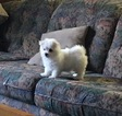 Maltese AKC Purebred Female Puppy For Sale