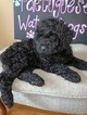 Portuguese Water Dog Puppy For Sale in CALHOUN, GA, USA