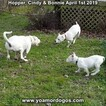 Small Photo #206 Dogo Argentino Puppy For Sale in PINEVILLE, MO, USA