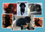 Newfoundland Puppy For Sale in SAINT PAUL, MN, USA