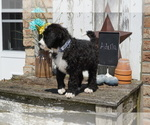 Small #9 Bernedoodle