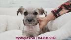 Schnauzer (Standard) Puppy For Sale in LA MIRADA, CA, USA