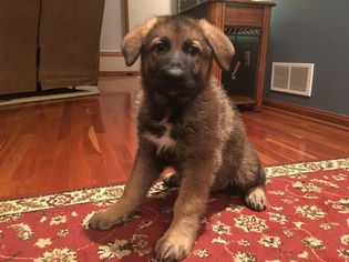 German Shepherd Dog Puppy For Sale in NORTH ROYALTON, OH