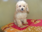 Poodle (Miniature) Puppy For Sale in PATERSON, NJ, USA