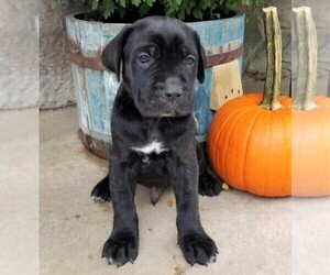 Cane Corso Puppy for sale in FORKSVILLE, PA, USA