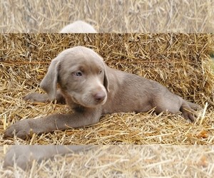 Labrador Retriever Puppy for Sale in FOLEY, Missouri USA