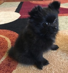 Pomeranian Puppy for sale in BLOOMINGTON, MN, USA