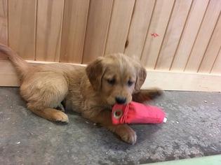 Golden Retriever Puppy For Sale in DALLAS, WI, USA