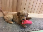 Golden Retriever Puppy For Sale in DALLAS, WI