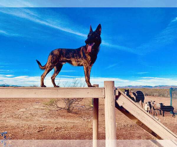 Medium Photo #6 Dutch Shepherd Dog Puppy For Sale in SIERRA VISTA, AZ, USA