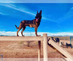 Small Photo #6 Dutch Shepherd Dog Puppy For Sale in SIERRA VISTA, AZ, USA