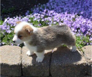 Pembroke Welsh Corgi Puppy for sale in MILLERSBURG, OH, USA