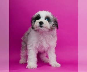 Aussiedoodle Miniature  Puppy for Sale in WARSAW, Indiana USA