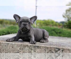 French Bulldog Puppy for Sale in BROOKLYN, New York USA