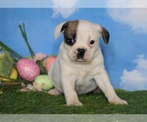 English Bulldog-Puggle Mix Puppy for sale in FREDERICKSBG, OH, USA