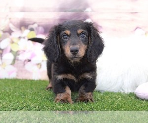 Dachshund Puppy for Sale in MARIETTA, Georgia USA