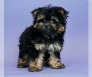 Morkie-Poodle (Miniature) Mix Puppy for Sale in WARSAW, Indiana USA