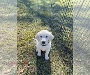 Golden Retriever Puppy for Sale in ELDORADO, Ohio USA