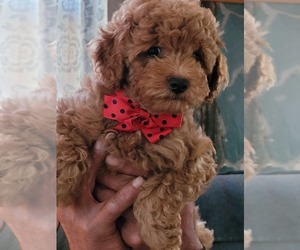 Poodle (Miniature) Puppy for Sale in LETTS, Iowa USA
