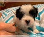 Puppy 3 Shih-Poo-ShihPoo Mix