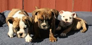 English Bulldog Puppy For Sale in LAKESIDE, CA, USA