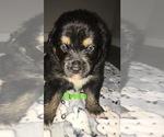 Small Photo #9 Australian Shepherd Puppy For Sale in HAMPTON, VA, USA