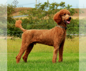 Father of the Goldendoodle-Poodle (Standard) Mix puppies born on 10/11/2020