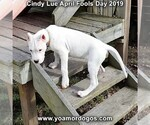 Small Photo #204 Dogo Argentino Puppy For Sale in PINEVILLE, MO, USA