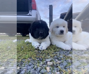 Great Pyrenees-Newfoundland Mix Dog for Adoption in RIDGEFIELD, Washington USA