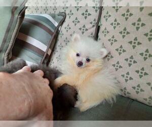Pomeranian Puppy for sale in DINWIDDIE, VA, USA