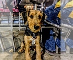 Small #15 Airedale Terrier