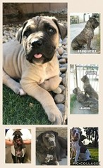 View Ad: American Bully-Cane Corso Mix Puppy for Sale near