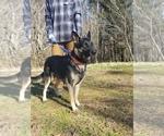 Small Photo #1 German Shepherd Dog Puppy For Sale in KENBRIDGE, VA, USA