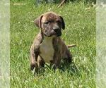 Small #137 American Pit Bull Terrier Mix