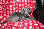 Great Dane Puppy For Sale in MENDOTA, IL, USA