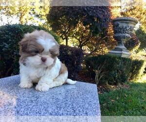 Shih Tzu Puppy for sale in HAYWARD, CA, USA