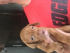 Vizsla Puppy For Sale in CRAWFORDSVILLE, IN, USA