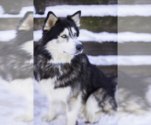 Father of the Siberian Husky puppies born on 11/13/2019