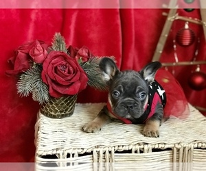 French Bulldog Puppy for sale in PALO ALTO, CA, USA