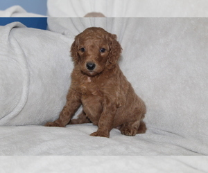 Goldendoodle Puppy for Sale in FRESNO, Ohio USA