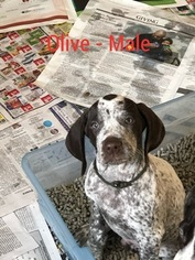 German Shorthaired Pointer Puppy For Sale in BROOKS, OR, USA